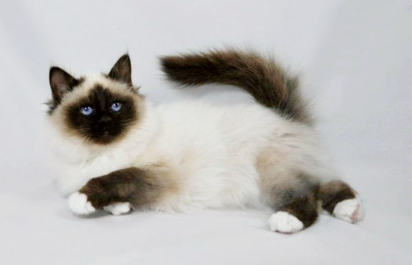 Jenis Kucing Birman