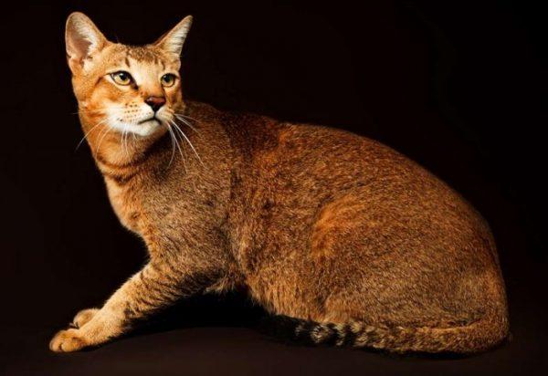 Jenis Kucing Chausie