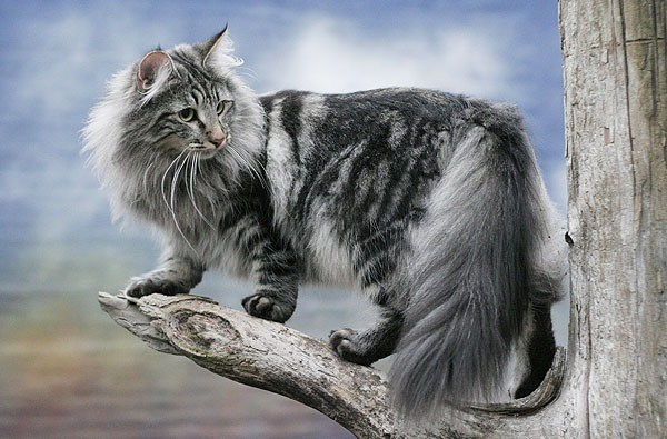 KUCING NORWEGIAN FOREST