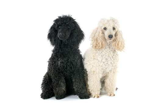 Jenis Anjing Peliharaan Poodle