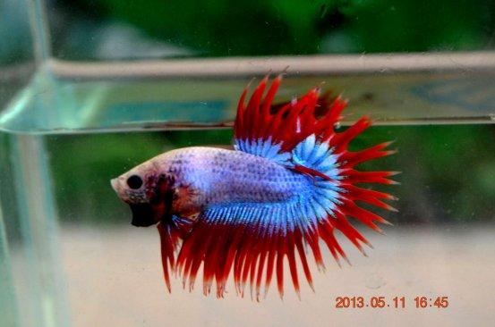 jenis-jenis ikan cupang serit (crown tail)