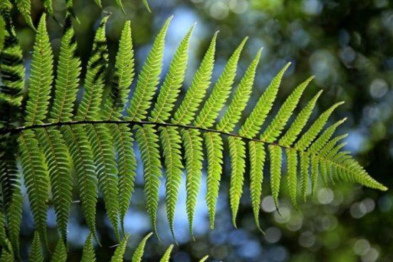 Characteristics of Paku Plants