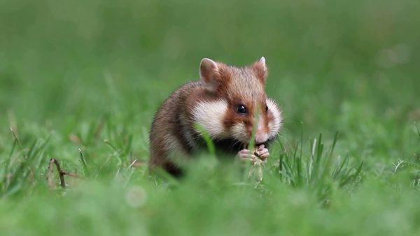 Hamster Eropa