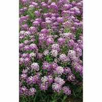 Royal Carpet Alyssum Seeds - NE Seed