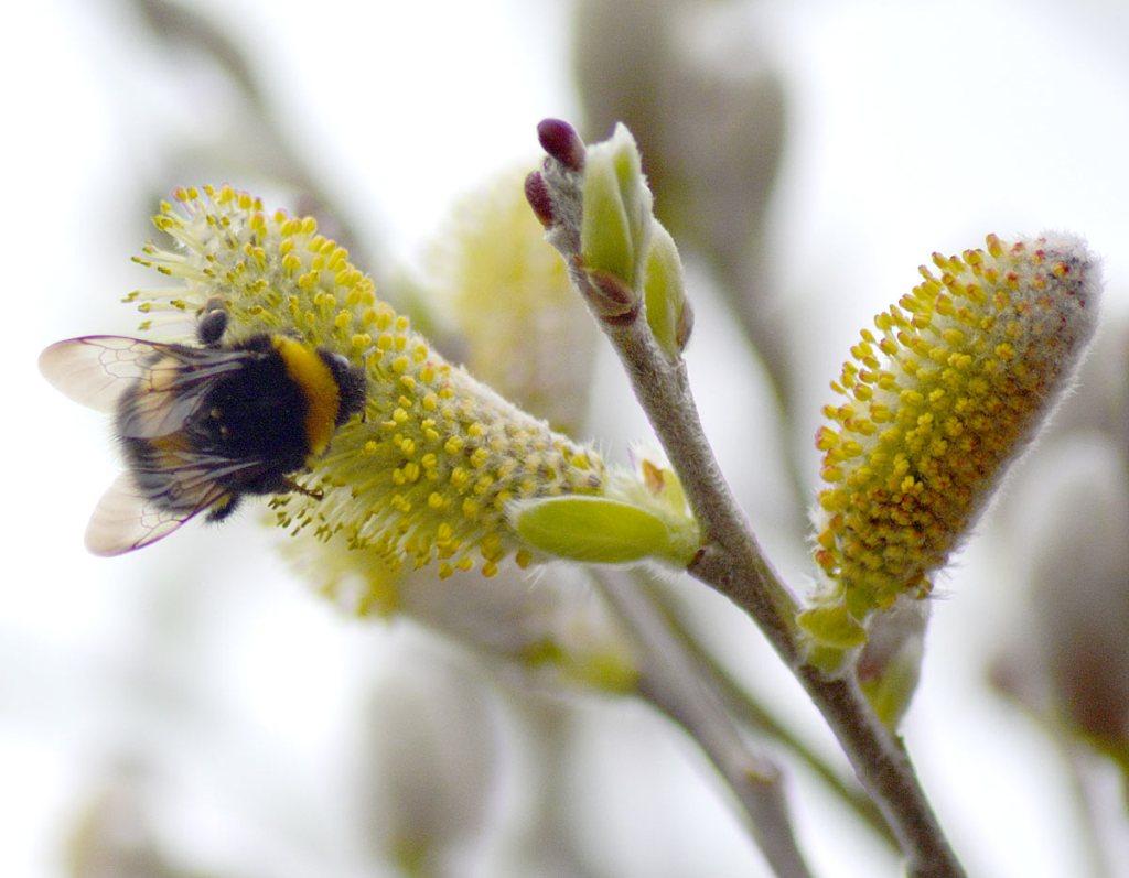 Brodgar bee.