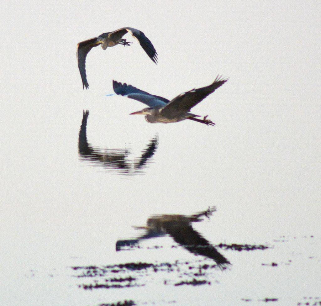 Heron flight over the Harray Loch.