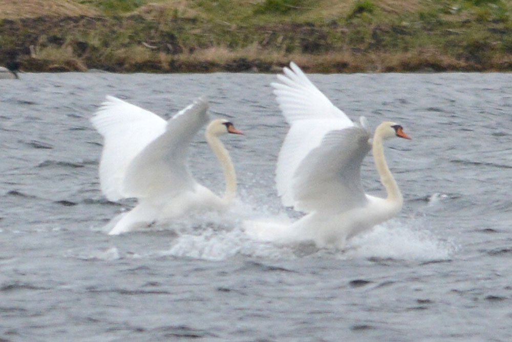 Swans on the loch.