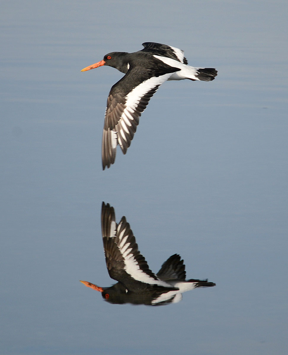 Oystercatcher (chaaldro or shaalder) reflection.