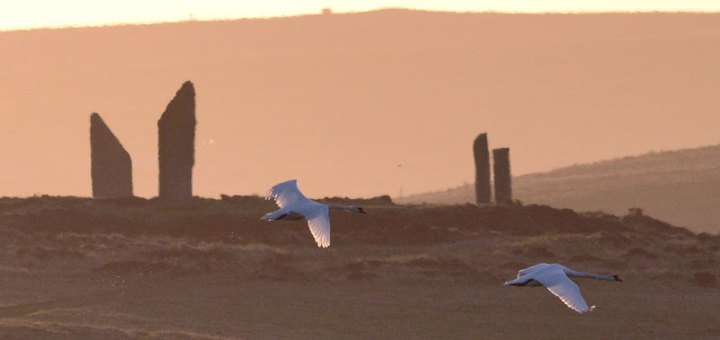 Sunset swans by the Ring of Brodgar