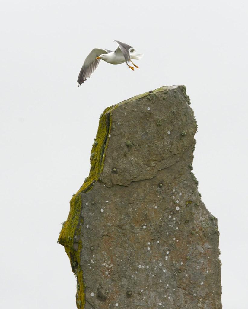Blackback gull over Ring of Brodgar megalith.