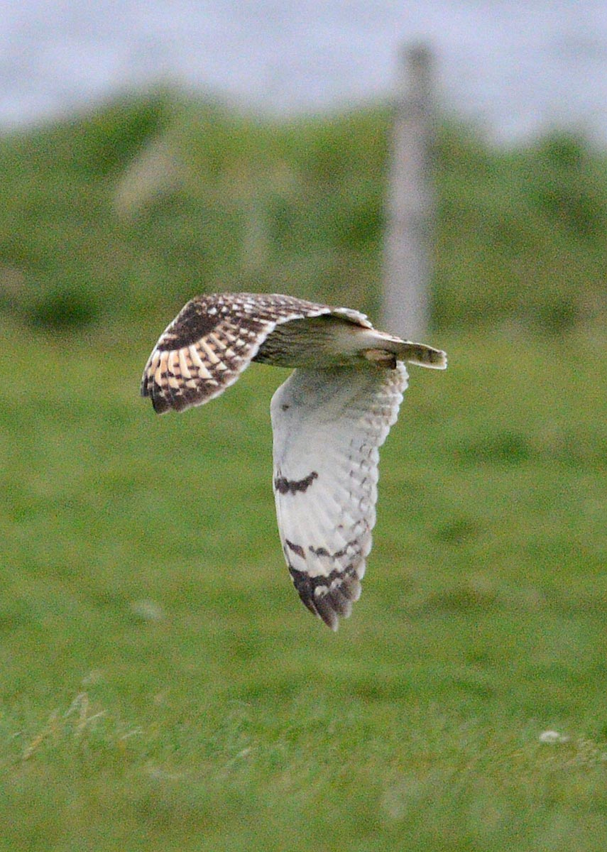 Short-eared owl takes off...