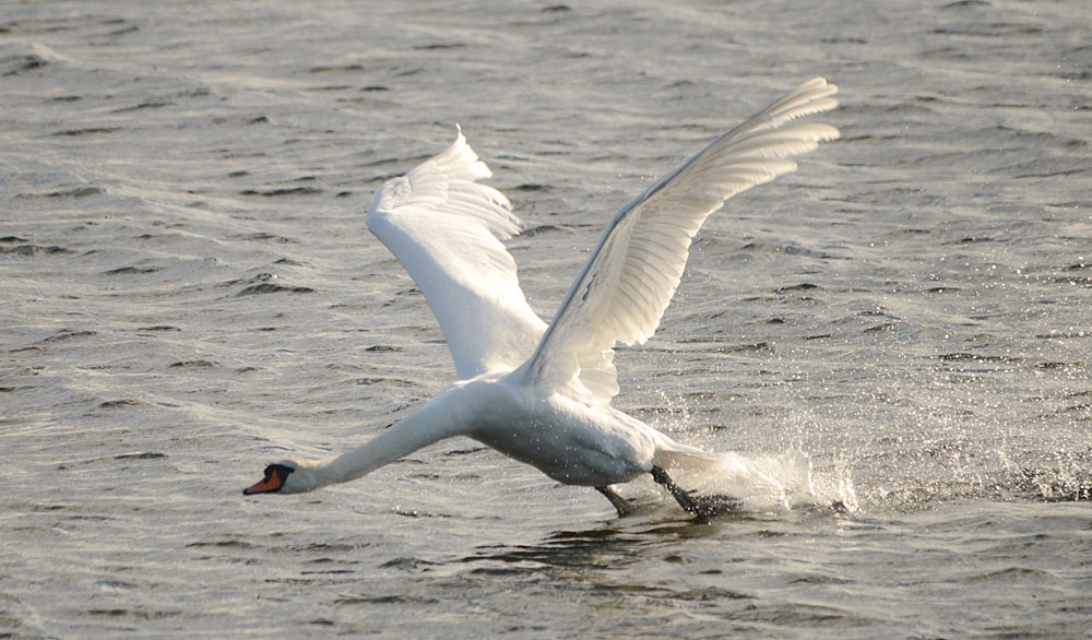 Stenness loch swan takes flight.