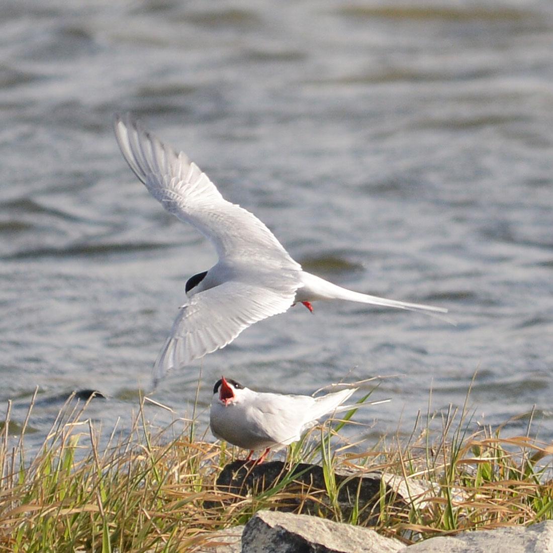 Pickieternos - terns - by the lochside.