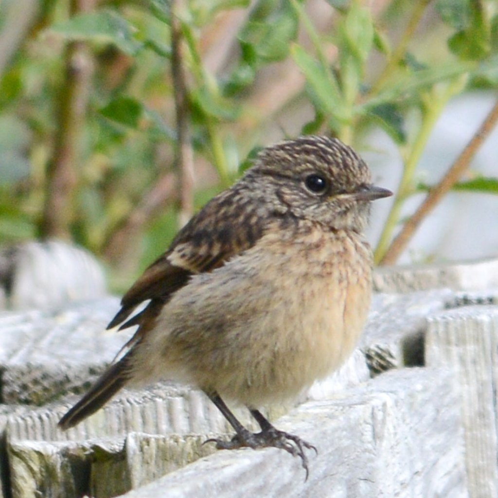 Young stonechat.
