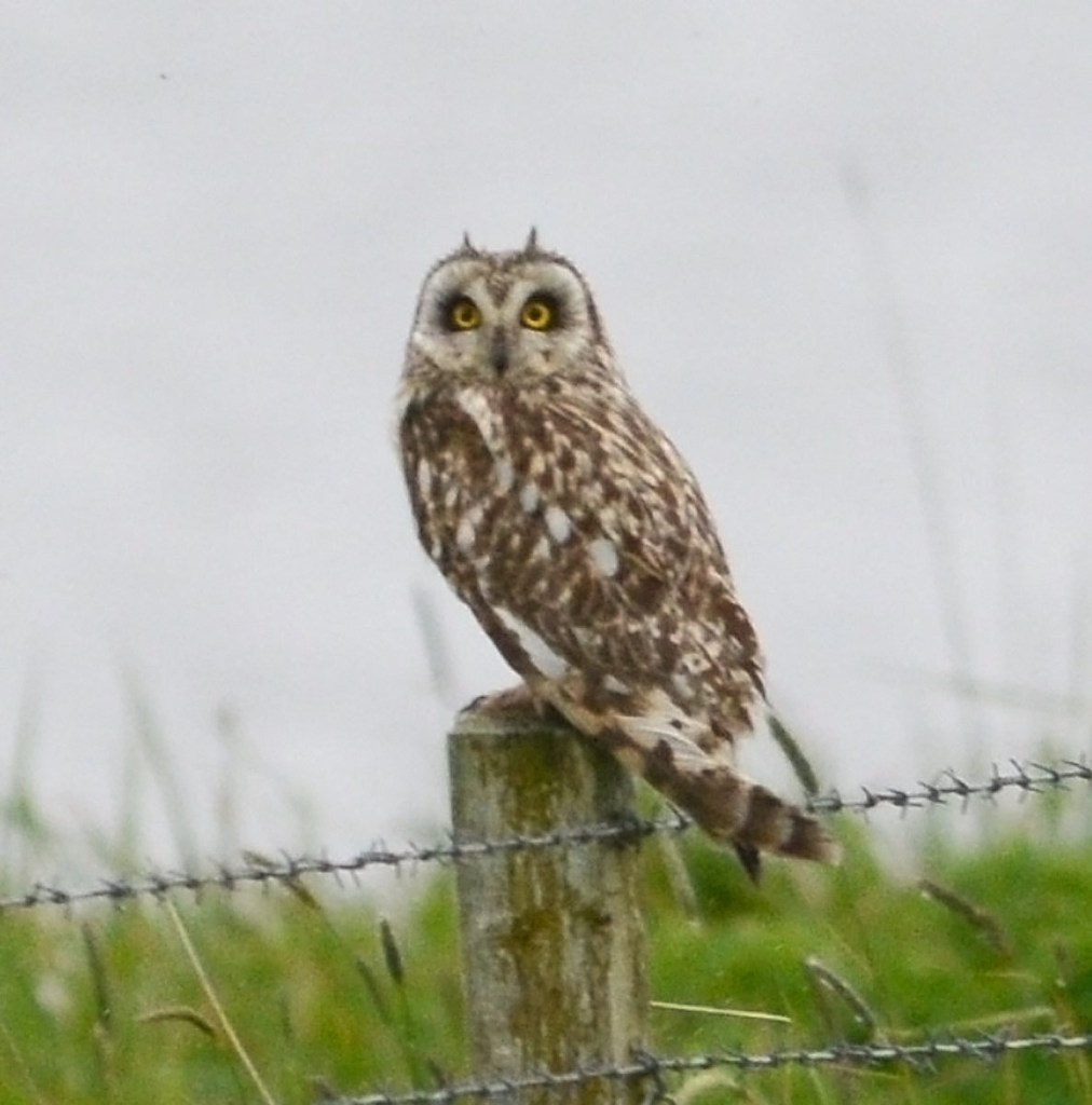 Our friend the short-eared owl returns.