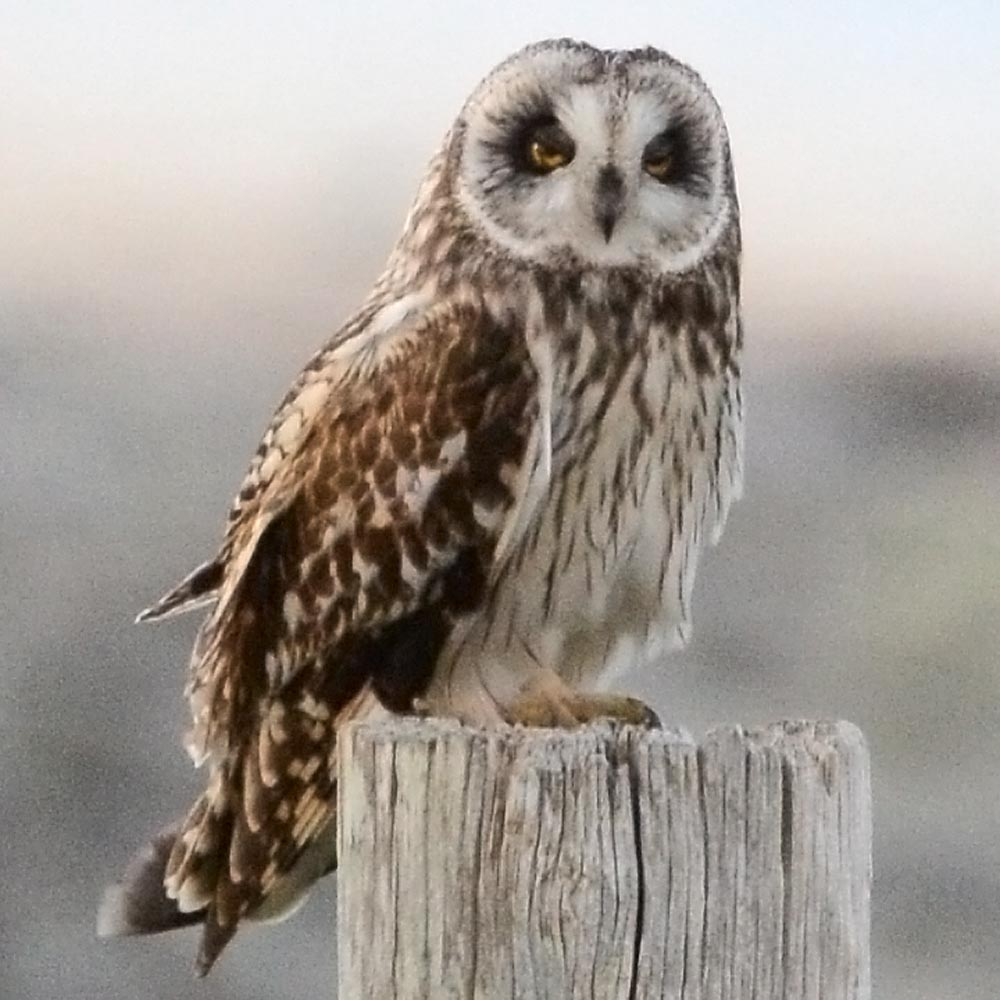 Our old friend the short-eared owl, or cattieface in Orcadian parlance.