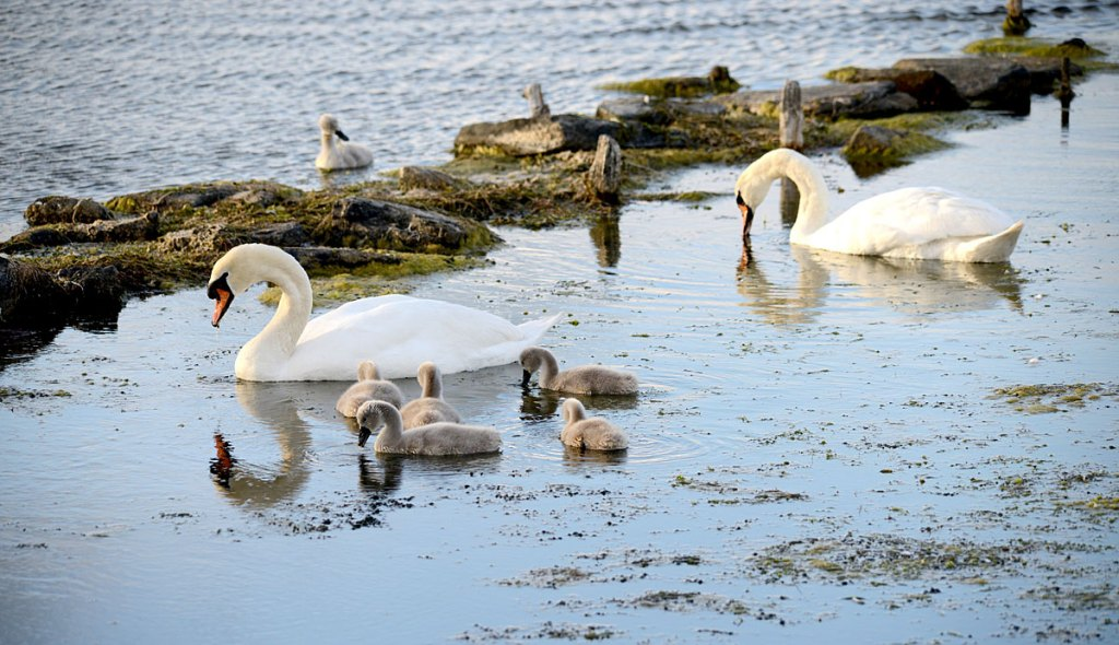Harray loch swans with their seven cygnets.