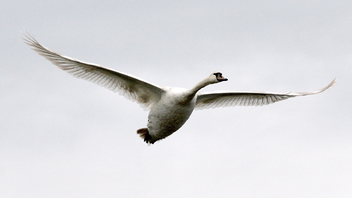 Low-flying swan.