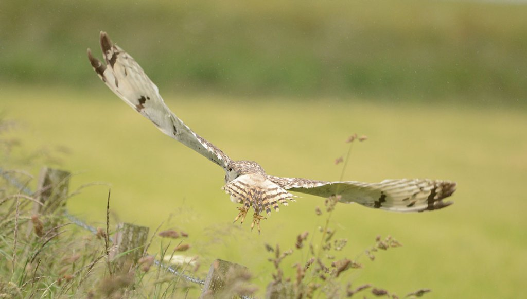...and the short-eared owl is off.