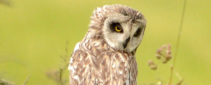Short-eared owl at the Ness of Brodgar