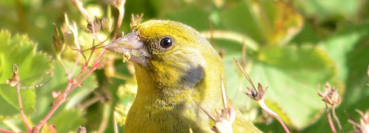 Greenfinch. (Nick Card)
