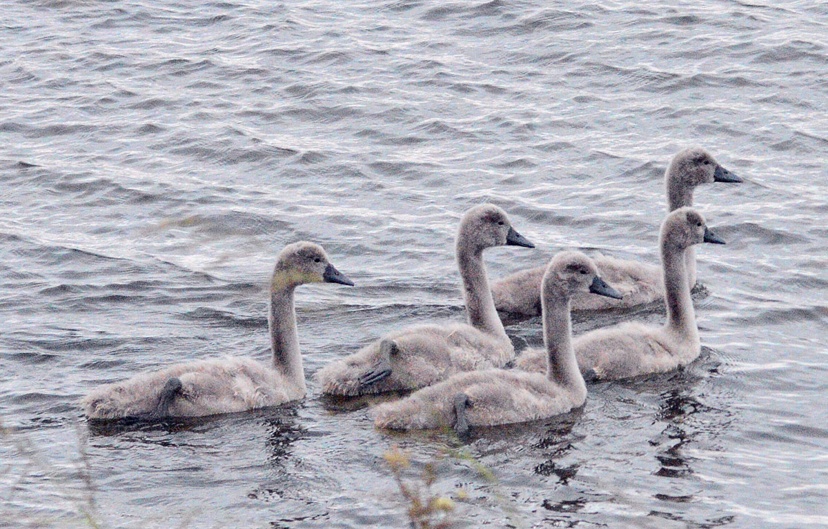 Cygnets growing fast...