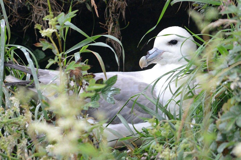 Fulmar on its nest.