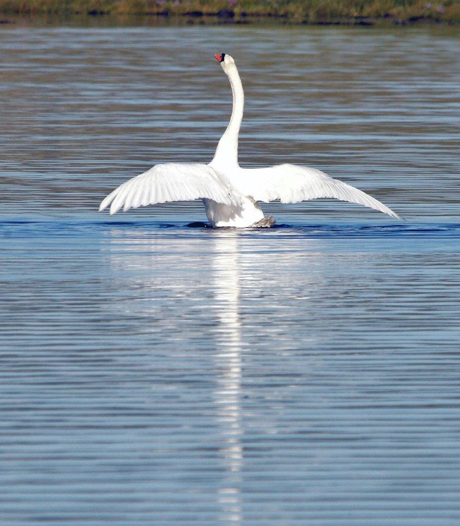 Swan display on Stenness loch.