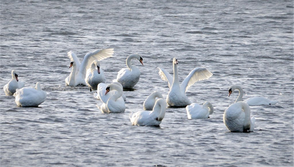 Gathering of swans on the loch.