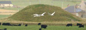Swans at Maeshowe. Nick Card