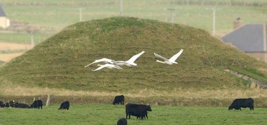 Swans at Maeshowe. Nick Card
