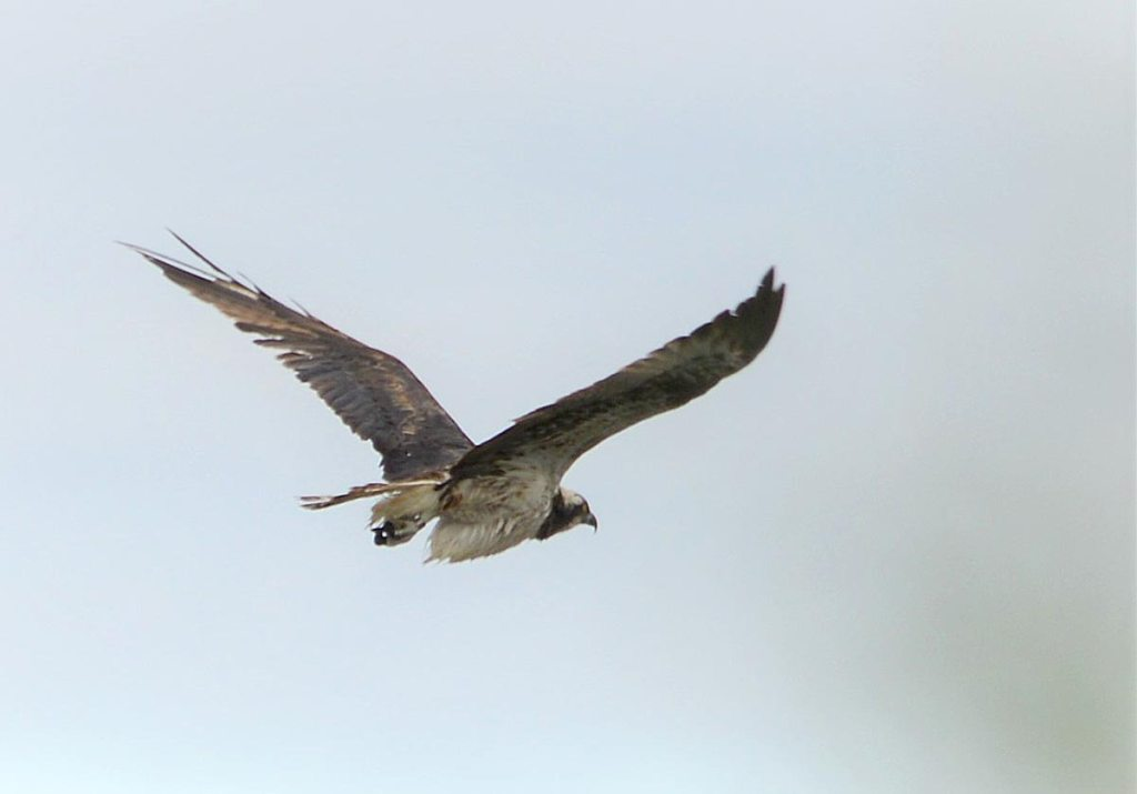 Osprey flying over the Harray loch.