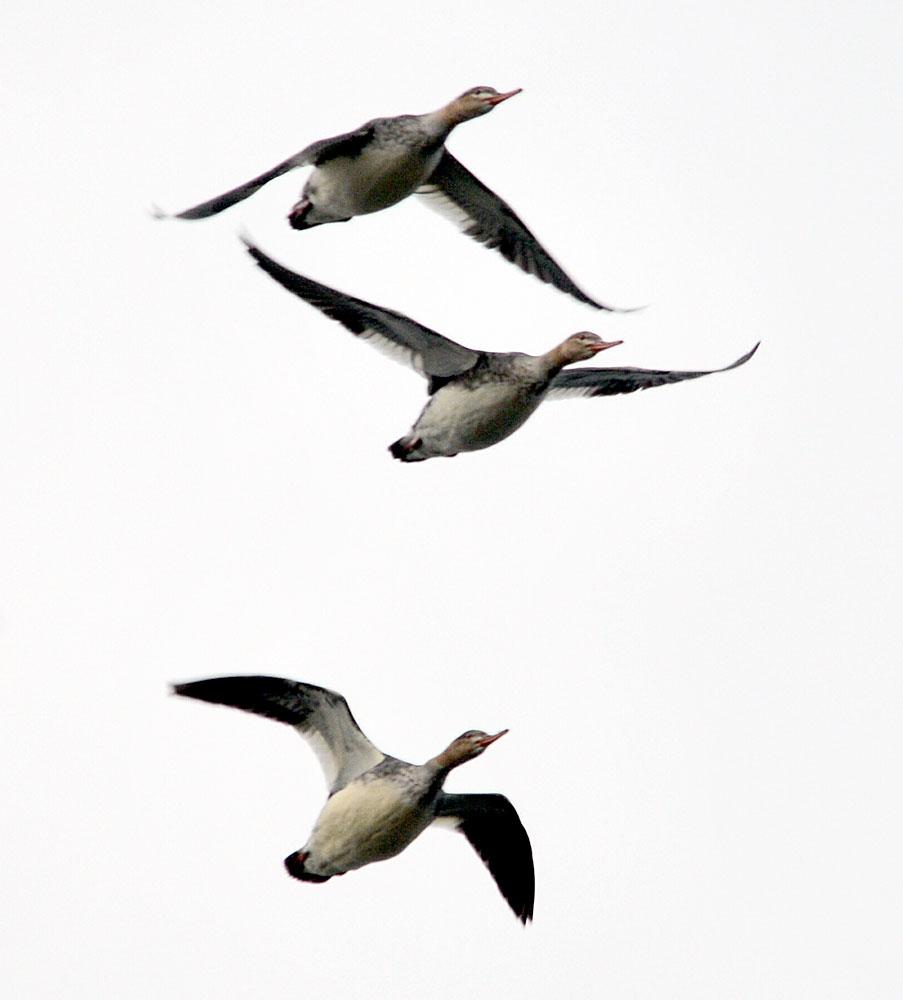 Flight of mergansers.