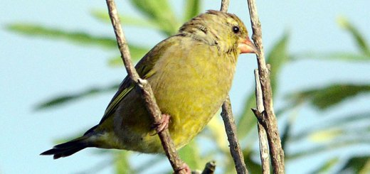 Greenfinch - Nick Card