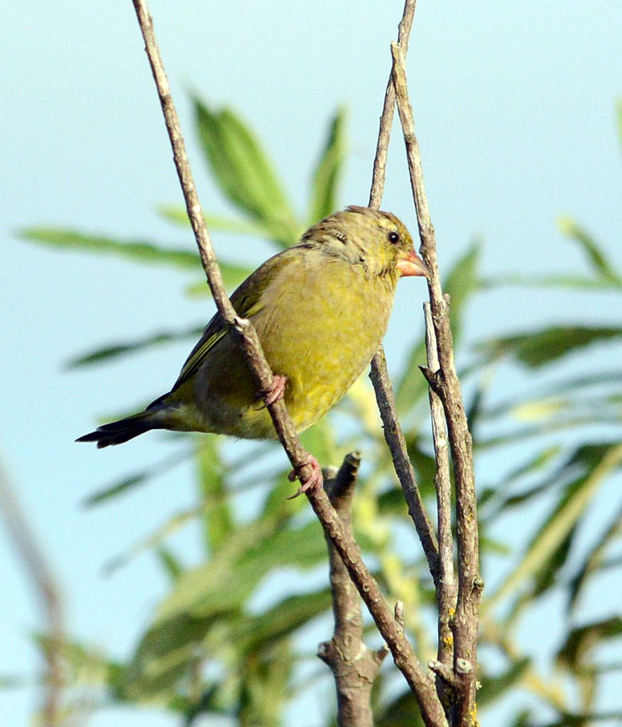 Greenfinch.