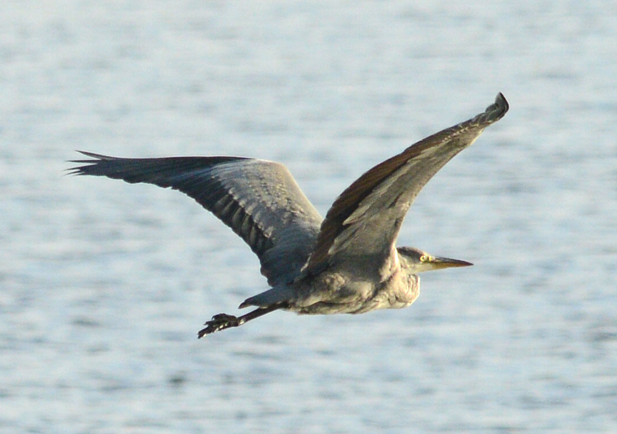 Heron in flight over the Stenness loch.