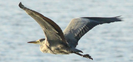 Heron in flight over the Stenness loch (Nick Card)