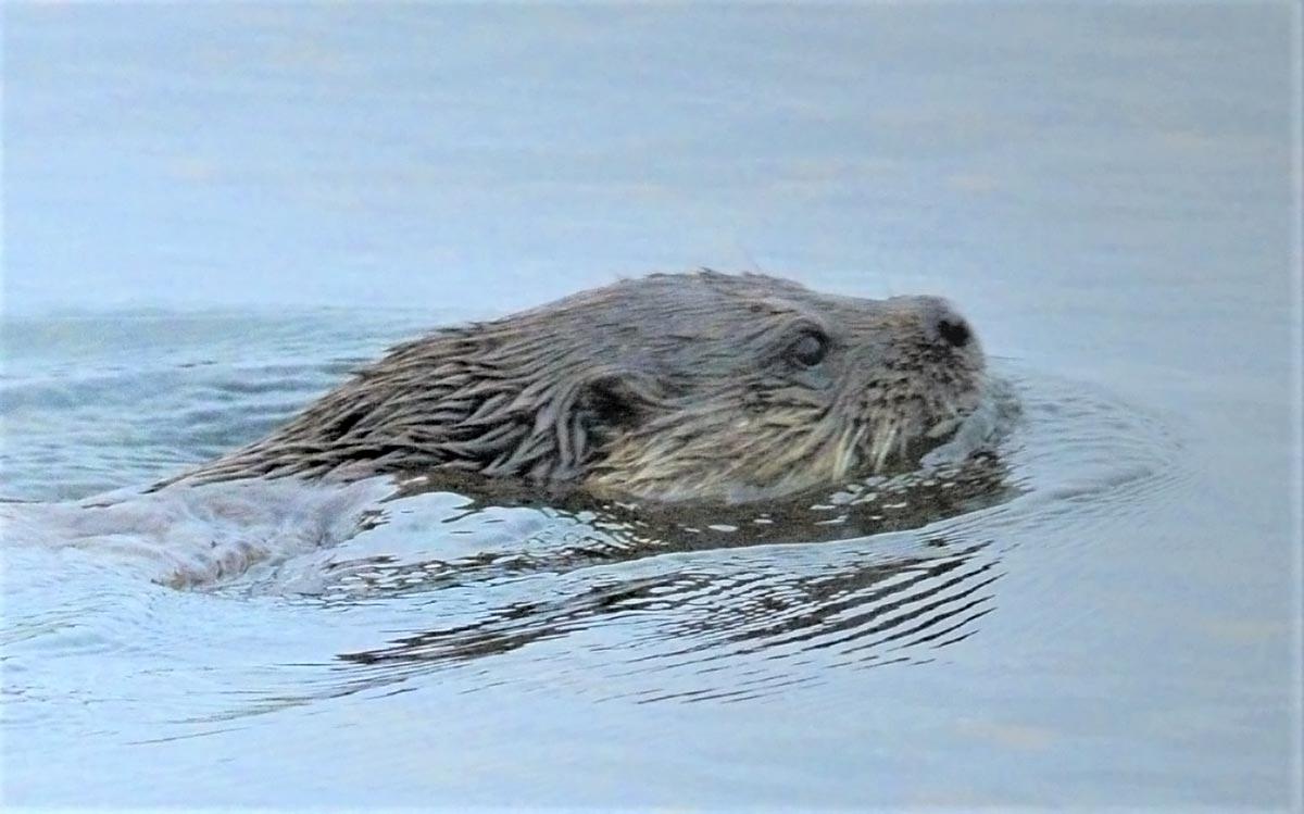 Otter swim.