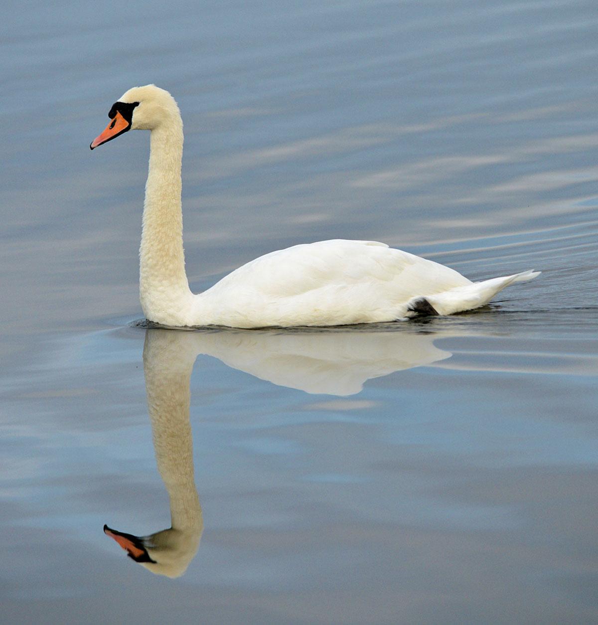 Swan reflection.