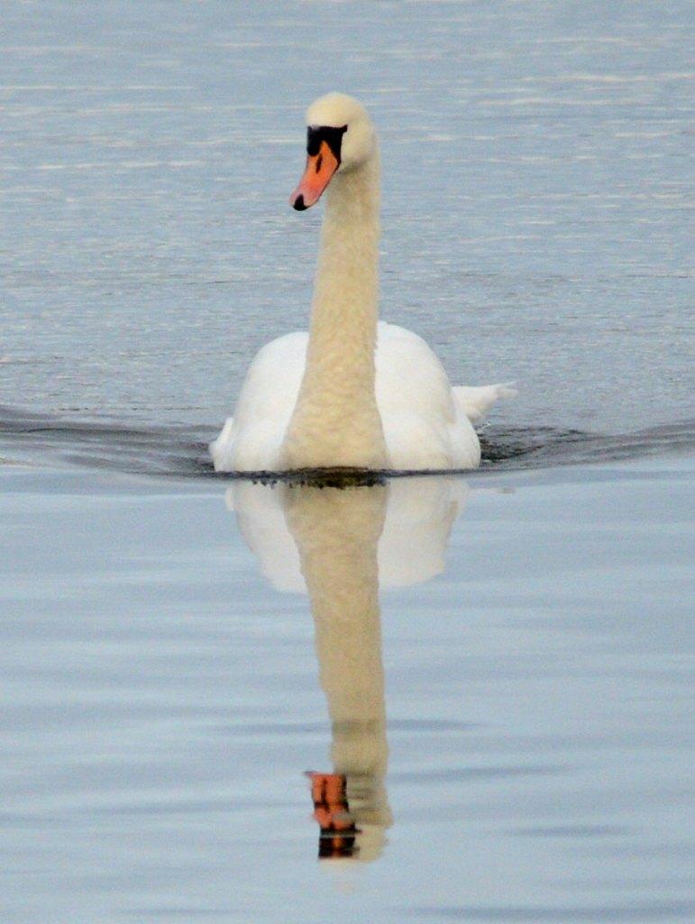 Swan reflection II.