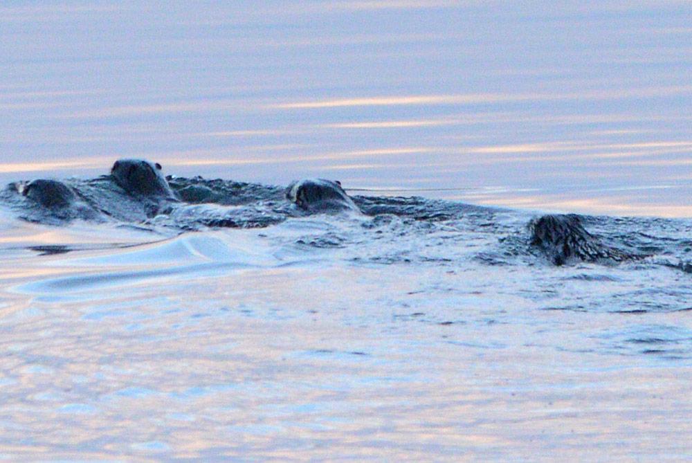 Otter family.