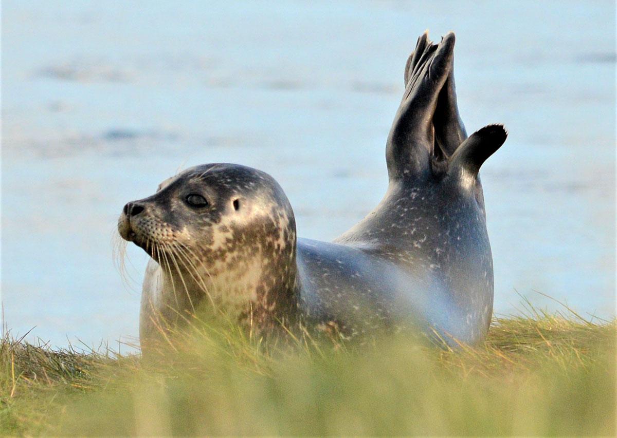 Stenness seal.