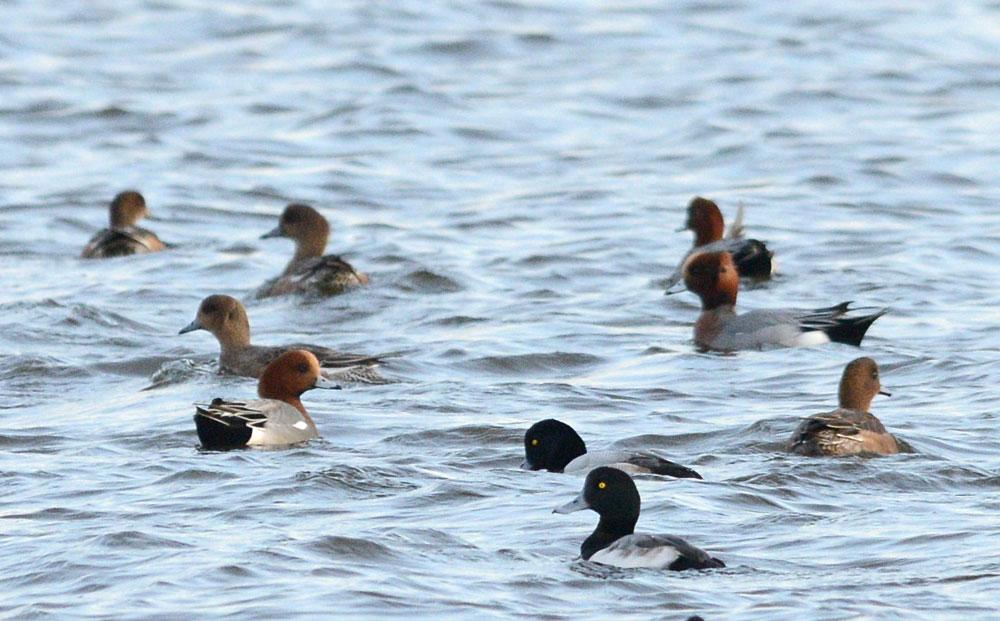 Duck gathering on the Harray loch.