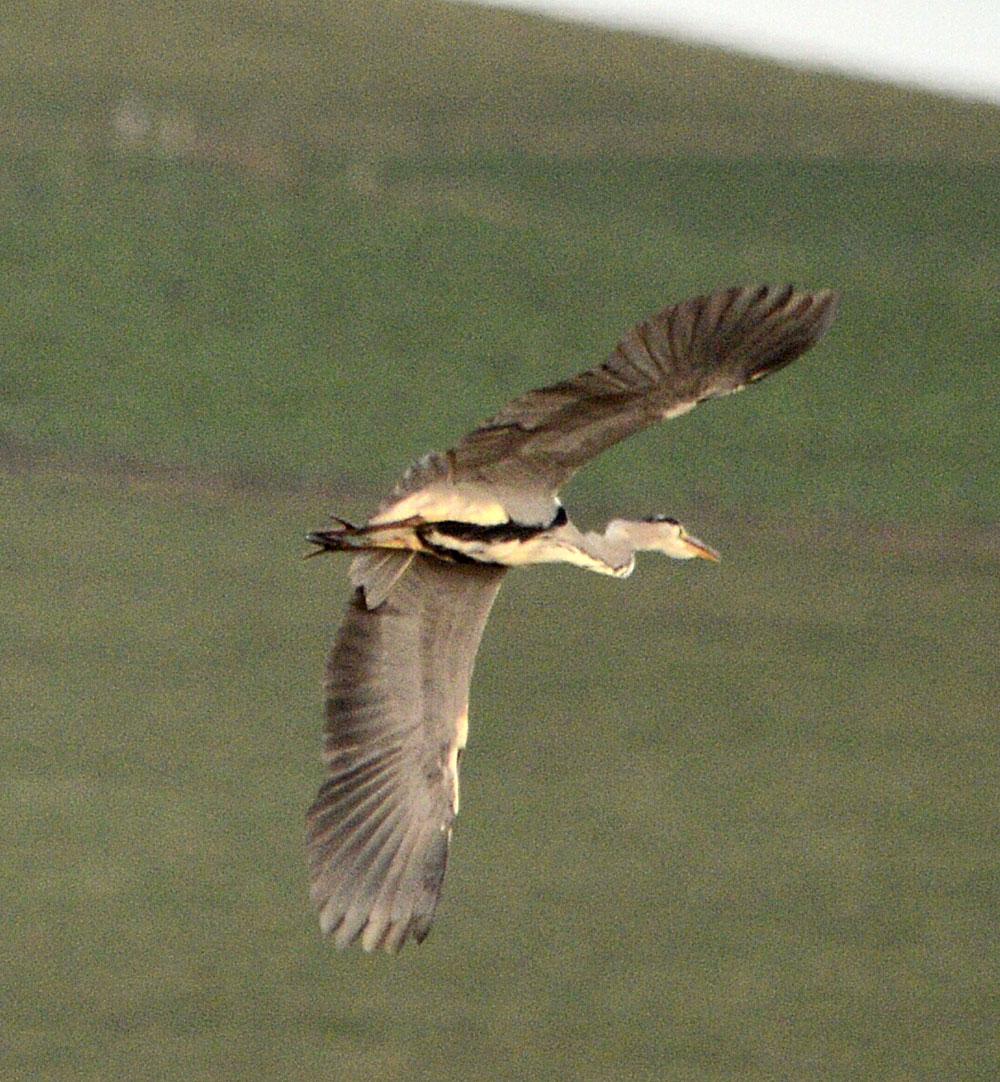 Heron banking over the Brig o' Waithe.