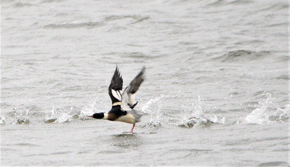 Merganser takes flight.