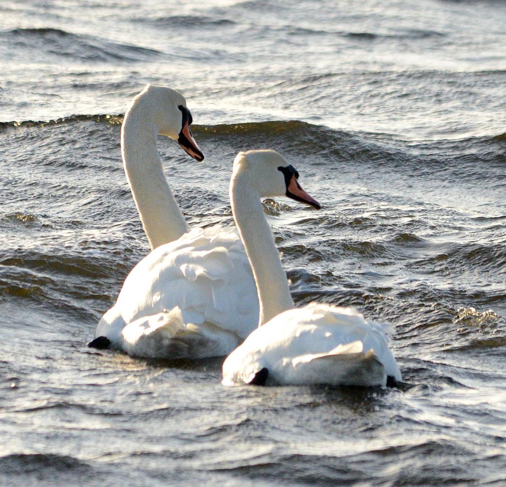 Swanning along...