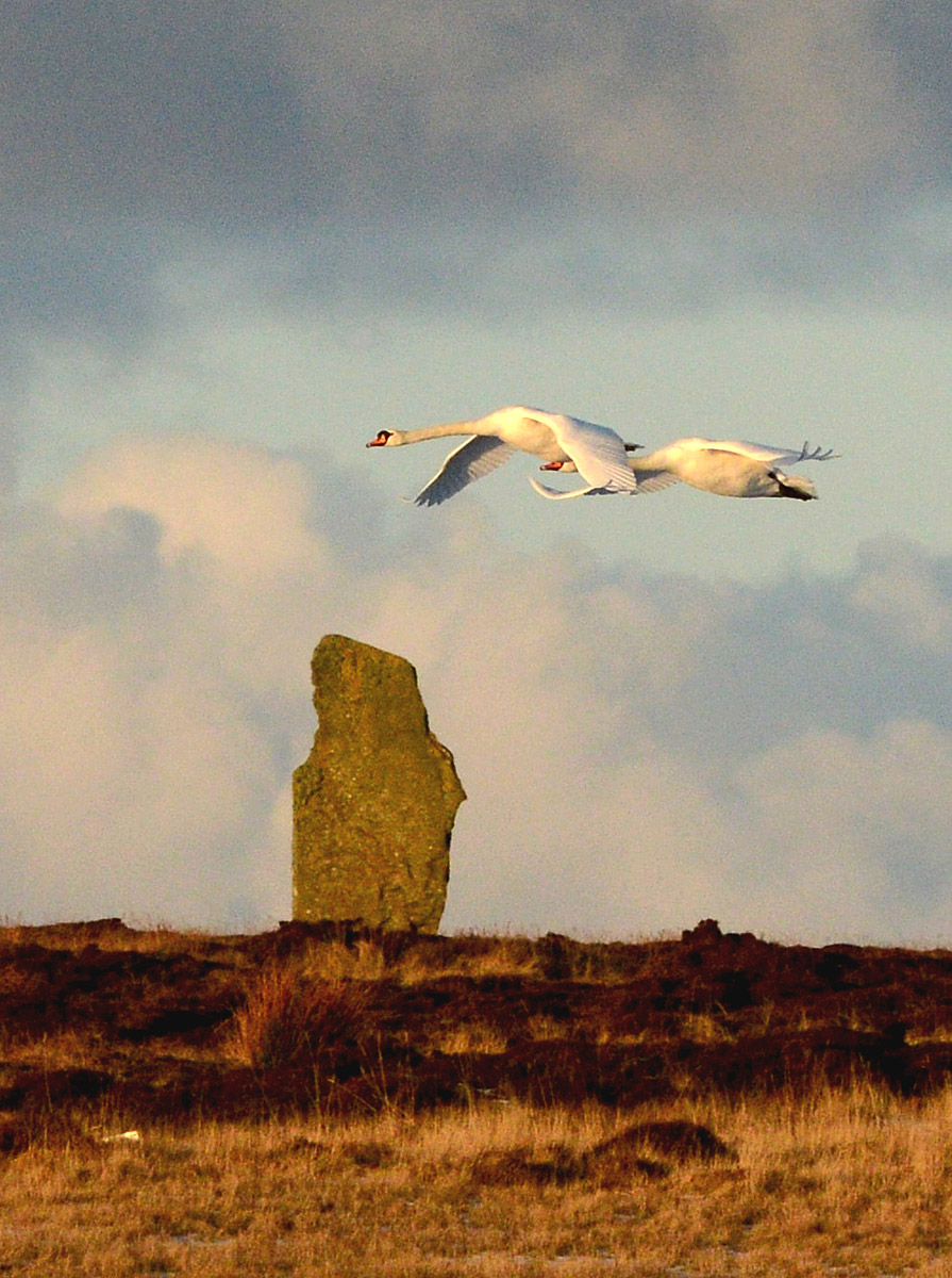 More swans do a fly past of the Ring of Brodgar.
