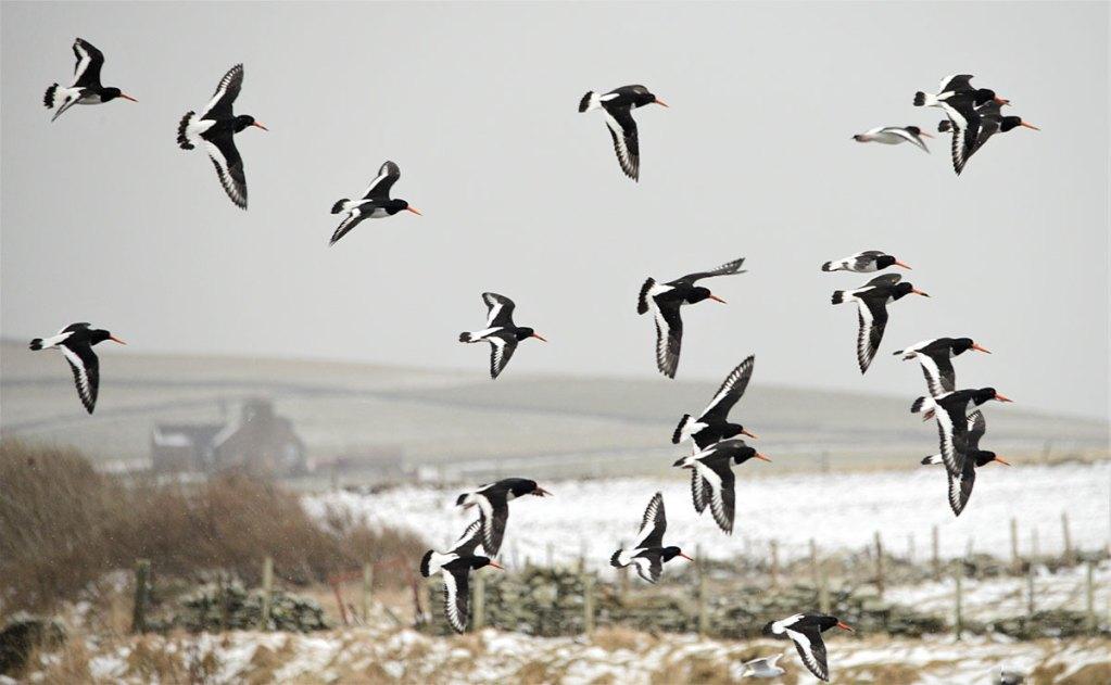 Flight of oystercatchers.