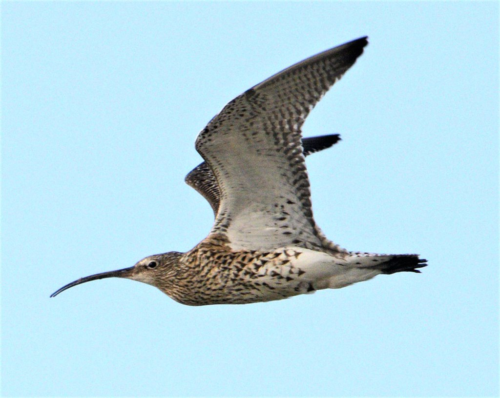Curlew over Brodgar.