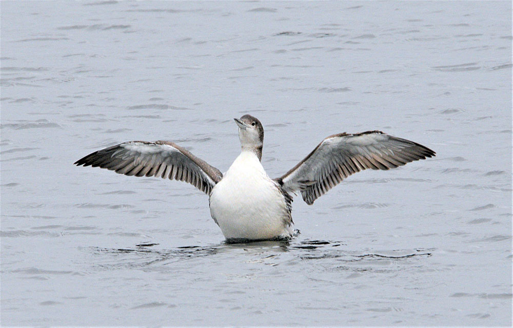 Immature great northern diver in a bit of a flap.